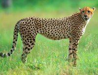 cheetah_facts