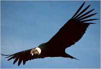 male-andean-condor-in-flight