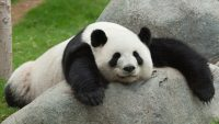 panda_lazy_on-rock_0-22bmbel