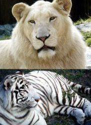 white-lion-white-tiger